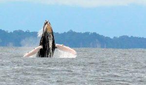 cerca-de-3-000-ballenas-pacifico-colombiano-22-07-2020