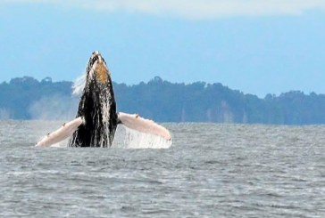 Avistamiento de ballenas: una de las tantas razones para visitar Buenaventura