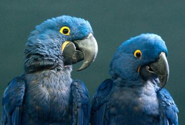 """Declaran extinto de su hábitat natural al ave azul que inspiró la película """"Río"""""""