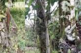 CVC reportó dos nuevos casos de perezosos sacados de su hábitat en Buenaventura