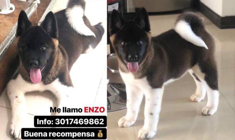 Ladrones roban costoso perro de apartamento de El Ingenio, ofrecen recompensa