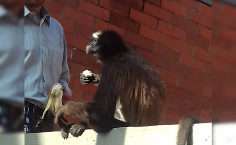 Presencia de mono araña en colegio de Cali obligó a operativo de rescate de CVC
