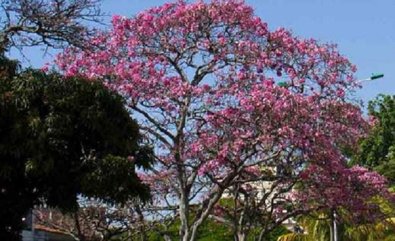 Con siembra de 3.600 árboles que florecen, buscan llenar de color y vida a Cali