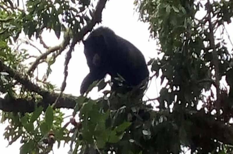 Habitantes de resguardo indígena de Florida, Valle captan grupo de osos de anteojos