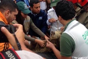 Rescatan oso perezoso que acabó en cables de alumbrado público en la ladera de Cali