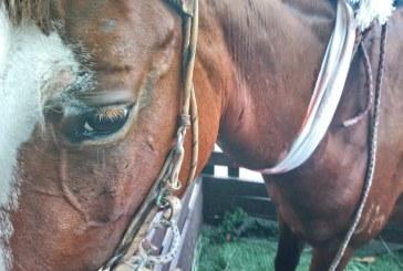 Yegua embarazada fue herida por una bala perdida en pelea de pandillas en Cali