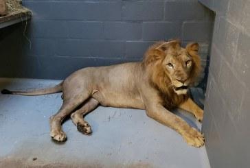 'Mufasa', el león barranquillero, ya se encuentra en el Zoológico de Cali