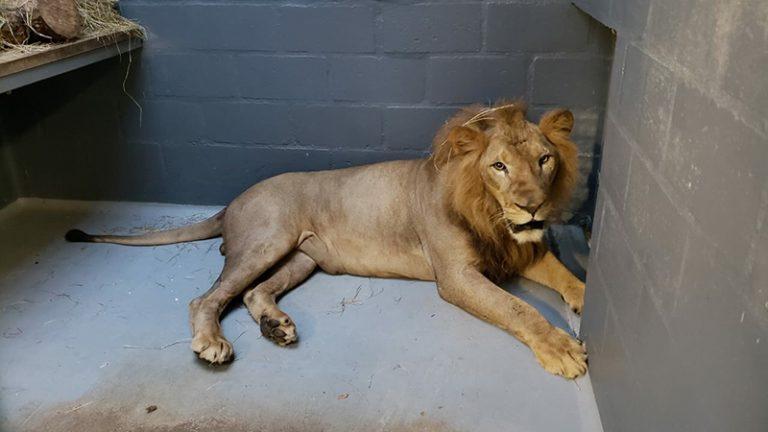 Mufasa, el león barranquillero, ya se encuentra en el Zoológico de Cali