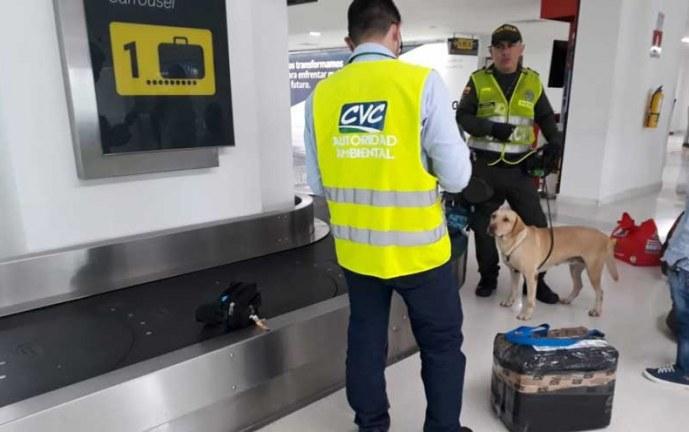 Aumenta control de CVC a tráfico de flora y fauna en aeropuerto Alfonso Bonilla