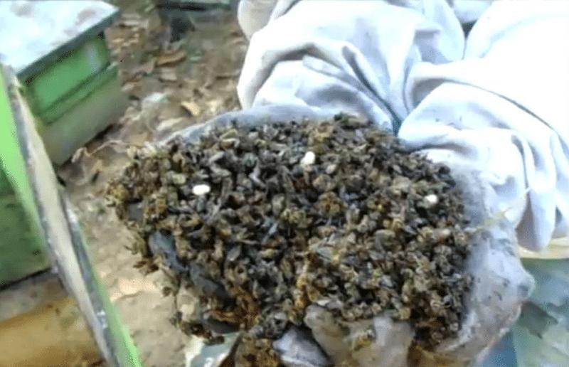 Más de dos millones de abejas muertas por envenenamiento en Sevilla, Valle