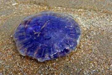 Más de veinte afectados por picaduras de medusas venenosas en Australia