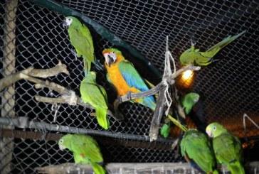 Galería: Dagma reubicó a 28 guacamayas en zoológico de piscilago en Girardot