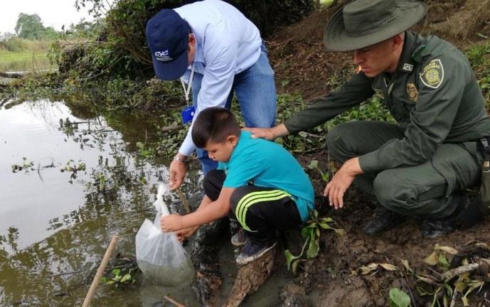 Siembran cinco mil alevinos de bocachico en el humedal Guare, en Bolívar, Valle