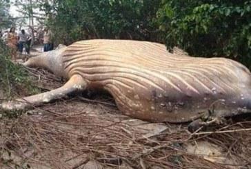 Asombro de expertos por ballena jorobada hallada muerta en selva amazónica