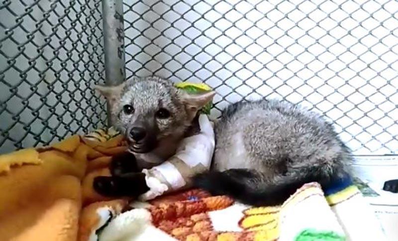 CVC logró rescatar a zorro cañero y a cusumbo juvenil en el centro del Valle