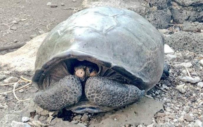 Hallan en Galápagos una tortuga gigante que se creía extinta hace un siglo