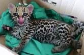 CVC avanza en la recuperación de tigrillo abandonado por discapacidad en Tuluá