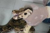 En una reserva natural de El Cairo, Valle, CVC liberó a boa constrictora rescatada