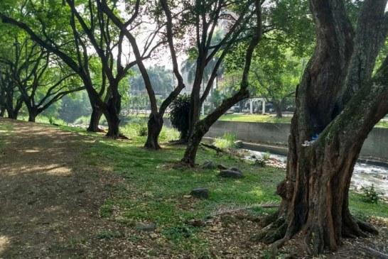 Dagma podará más de 20.000 árboles reportados por empresas de servicio público de aseo en Cali