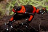 Trabajan para proteger a rana venenosa endémica del Valle que está amenazada