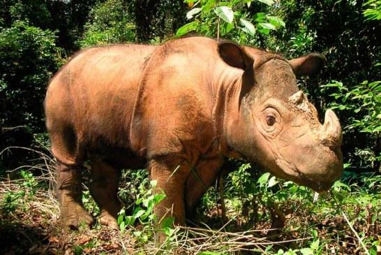 Murió el último macho de rinoceronte de Sumatra en Malasia