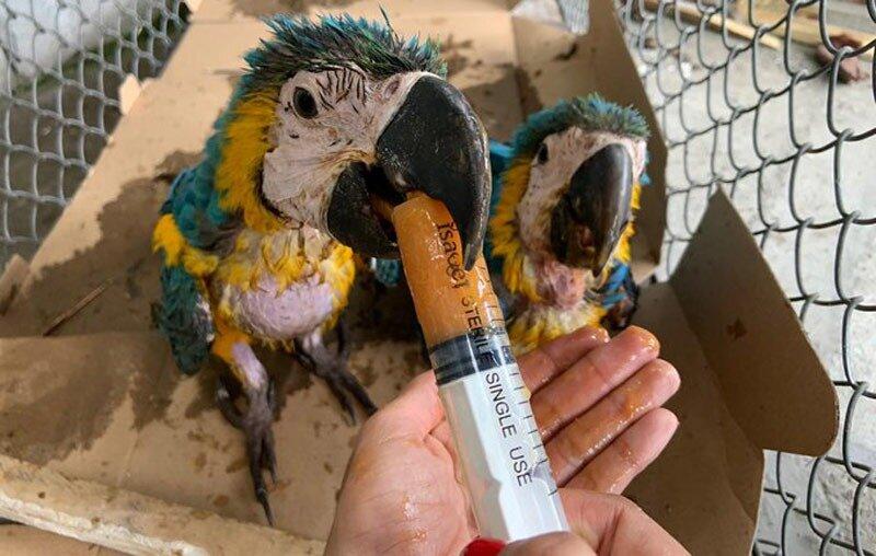 Dos polluelos de guacamayas se recuperan luego de ser liberadas de cautiverio