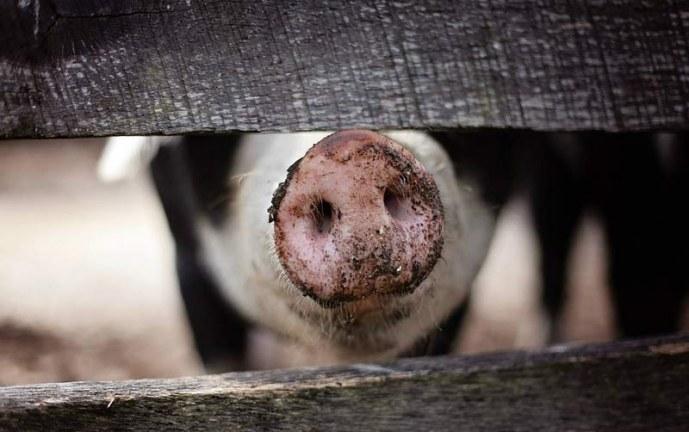 ¡Macabra revelación! Cuerpos descuartizados por criminales serían alimento de cerdos