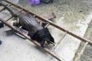 Dagma capturó una de las babillas de lago de Ciudad Jardín