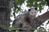 Zarigüeya es enviada a su hábitat natural tras encontrase en el cementerio de Buga