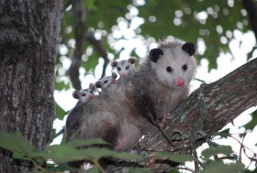 No son ratas, son zarigüeyas: las autoridades ambientales del Valle invitan a protegerlas