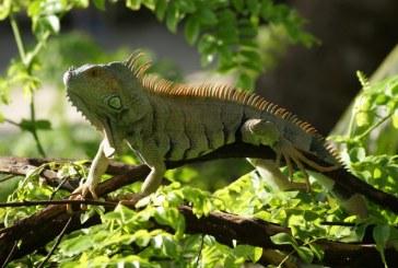 La CVC le da la bienvenida a 10 iguanas provenientes de la 'Ciudad Señora'