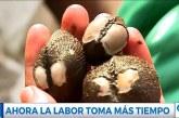 Pianguar, una tradición ancestral de Tumaco que lucha por no desaparecer