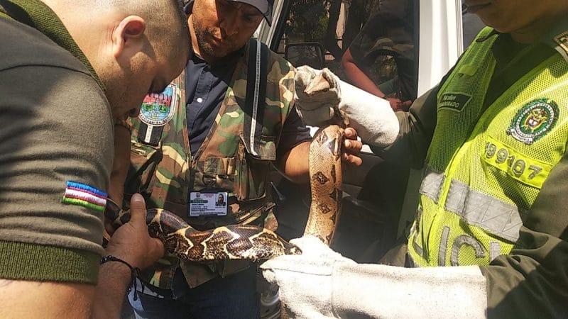 Boa constrictor es rescatada tras estar 24 horas en poste de energía en el sur de Cali