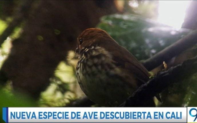 Video: descubren en Cali nueva especie de ave nativa en predio de conservación del Dagma