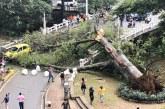 Dolor en Cali tras desplome de árbol icónico del Gato Tejada