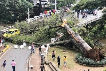 Dagma estudia otros árboles que pueden venirse al suelo como la Ceiba del Gato Tejada