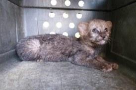 Rescatan puma Yaguarundí que deambulaba en vereda de Cartago