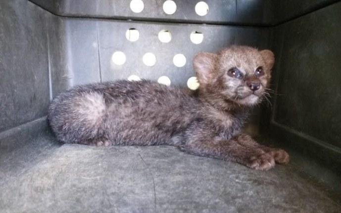 Rescatan felino de la especie puma Yaguarundí que deambulaba en vereda de Cartago
