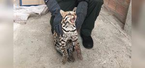 Rescatan tigrillo herido en corregimiento La Buitrera, zona rural de Cali