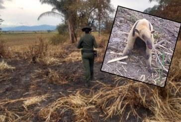 Con fuertes quemaduras, rescatan a oso hormiguero de incendio en Cartago