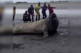 Sorpresivo avistamiento de elefante marino en playas de zona rural de Buenventura