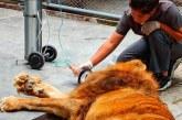 Día uno del león Júpiter cerca a su madre humana: así amaneció hoy el felino