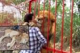 El drama de Júpiter, el león del refugio Villa Lorena que fue trasladado a Montería y ahora agoniza