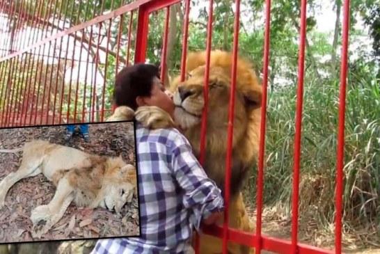 El León Júpiter fue atendido por veterinarios y ya está listo para ser trasladado a Cali