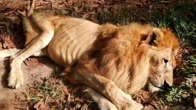 Fiscalía inicia investigación para esclarecer si hubo maltrato animal en contra del león 'Júpiter'