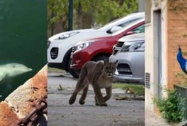 Mientras los humanos permanecen en cuarentena, animales salen a recorrer calles vacías
