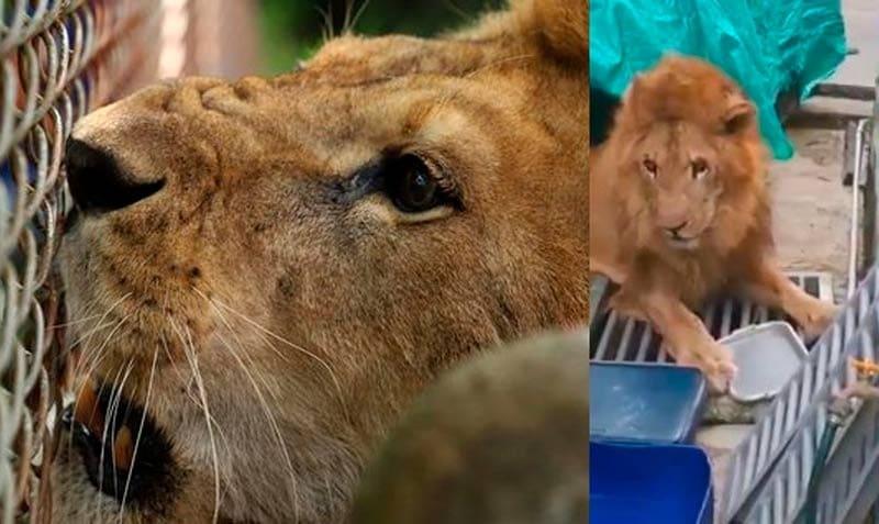 Reviven capitulo de 'Caso Cerrado', de la doctora Polo con el león Júpiter como protagonista