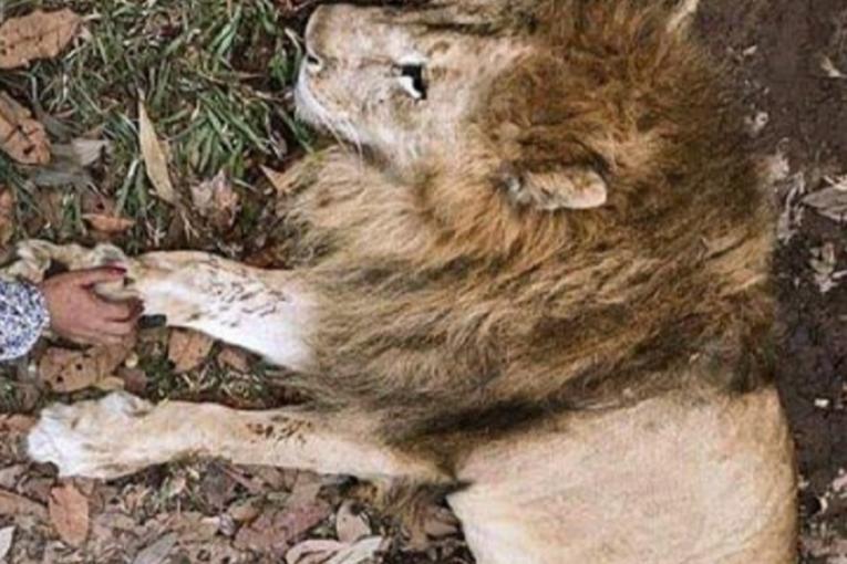 Tras la muerte del León Júpiter, urge en Cali un centro de atención animal