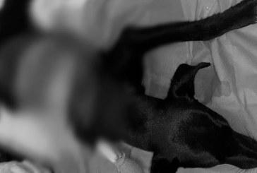 Falleció perra en gestación que había sido hallada despellejada en el oriente de Cali