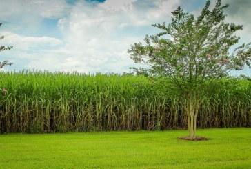 Ingenios azucareros del Valle del Cauca se convierten en donantes nacionales de alcohol
